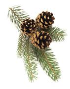 Fir-tree branch with cones Stock Photos