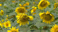 Field of Sunflowers facing east in summer breeze + butterfly feeding on nectar - stock footage