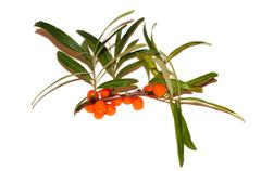sprig of sea buckthorn berries on a white background - stock photo