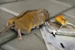 The destruction of rodents using mousetrap Stock Photos