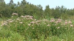 Hemp-agrimony (Eupatorium) blooming in wetland in Northern Europe Stock Footage