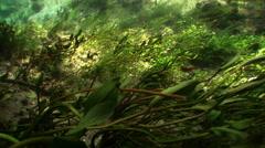 Underwater plants in fresh water Stock Footage