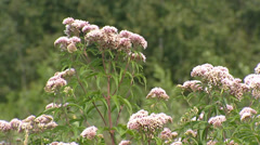 Hemp-agrimony (Eupatorium) blooming in wetland in Northern Europe - medium shot Stock Footage