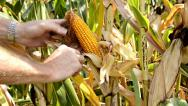 Stock Video Footage of harvesting a cob, close up