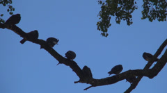 Pigeons on a Branch of a Tree, Doves, Ringdoves , Flock of Birds Stock Footage