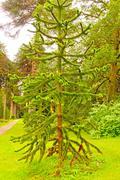 Stock Photo of unique pine tree in formal garden