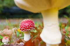 Stock Photo of fly agaric Mushroom
