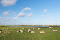Sheep near bird lake de petten at texel Stock Photos