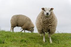 Stock Photo of texel sheep at dutch wadden island