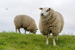texel sheep at dutch wadden island - stock photo