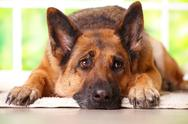 Stock Photo of german shephard dog laying