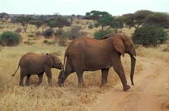 Africa, Tanzania Female elephant with calf (Loxodonta africana),crossing road  - stock photo