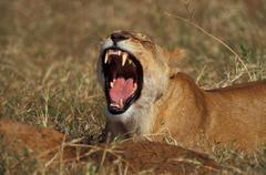 Roaring lioness, Africa, Tanzania Stock Photos