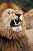 Africa, Tanzania, male lion snarling Stock Photos