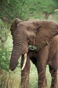 Africa, bull elephant(Loxodonta africana) - stock photo