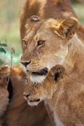 Africa, lioness with pride Stock Photos