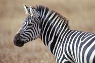 Stock Photo of Africa, zebra on savanna
