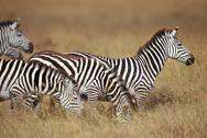 Stock Photo of Africa, zebras on savanna