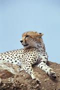 Africa, Tanzania, cheetah - stock photo
