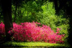 garden azaleas - stock photo