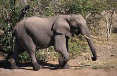 Afrikka, Tansania, sonni norsu (Loxodonta africana) Kuvituskuvat