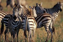 Africa, zebras herd Stock Photos