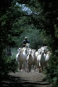 France, Camargue, herd of horses Stock Photos