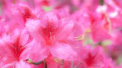 pink azalea flowers - stock photo