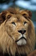 Lion close up Stock Photos