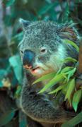 Australia, Koala (Phascolarctos cinereus) Stock Photos