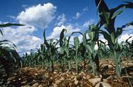 Stock Photo of corn plantation