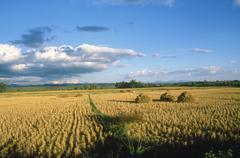Thailand, ricefield - stock photo