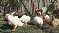 Heritage and broiler chickens Stock Footage