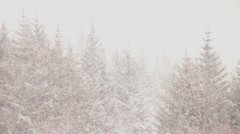 Blizzard snow storm whiteout in an Icelandic pine forest - stock footage
