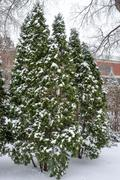 snow fall on pine trees - stock photo