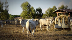 Cows from maremma Stock Footage
