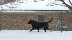 Black dog in snow walking along fence Stock Footage