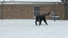 Black Labrador dog in snowstorm Stock Footage