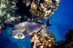 Egypt, Sharm El Sheik, barrier reef, Surgeonfishe (Acanthurus leucosternon) Red - stock photo