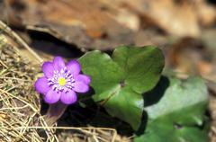 Hepatica, Hepatica nobilis - stock photo