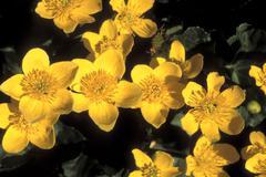 Marsh Marigold - Caltha palustris Stock Photos