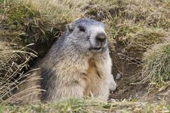Groundhog (Marmota marmota) - stock photo