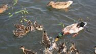 Stock Video Footage of duck with ducklings swimming in the pond and catch the bread crumbs.