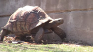 Stock Video Footage of Tortus Turtle