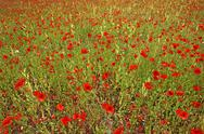 Stock Photo of Field of poppies