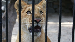 Liger yearling at the zoo. Stock Footage