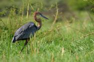 Stock Photo of Africa, Kenya, goliath heron (ardea goliath)