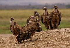 Kenya, vulture(Gyps africanus) Stock Photos