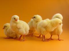 Stock Photo of chicks