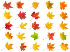 Stock Illustration of Maple leaves
